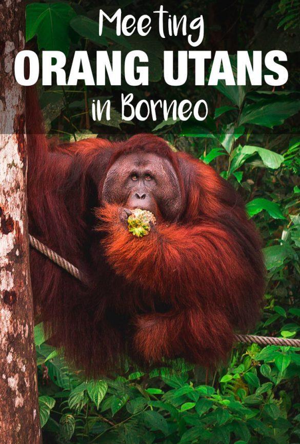orangutans in borneo malaysia