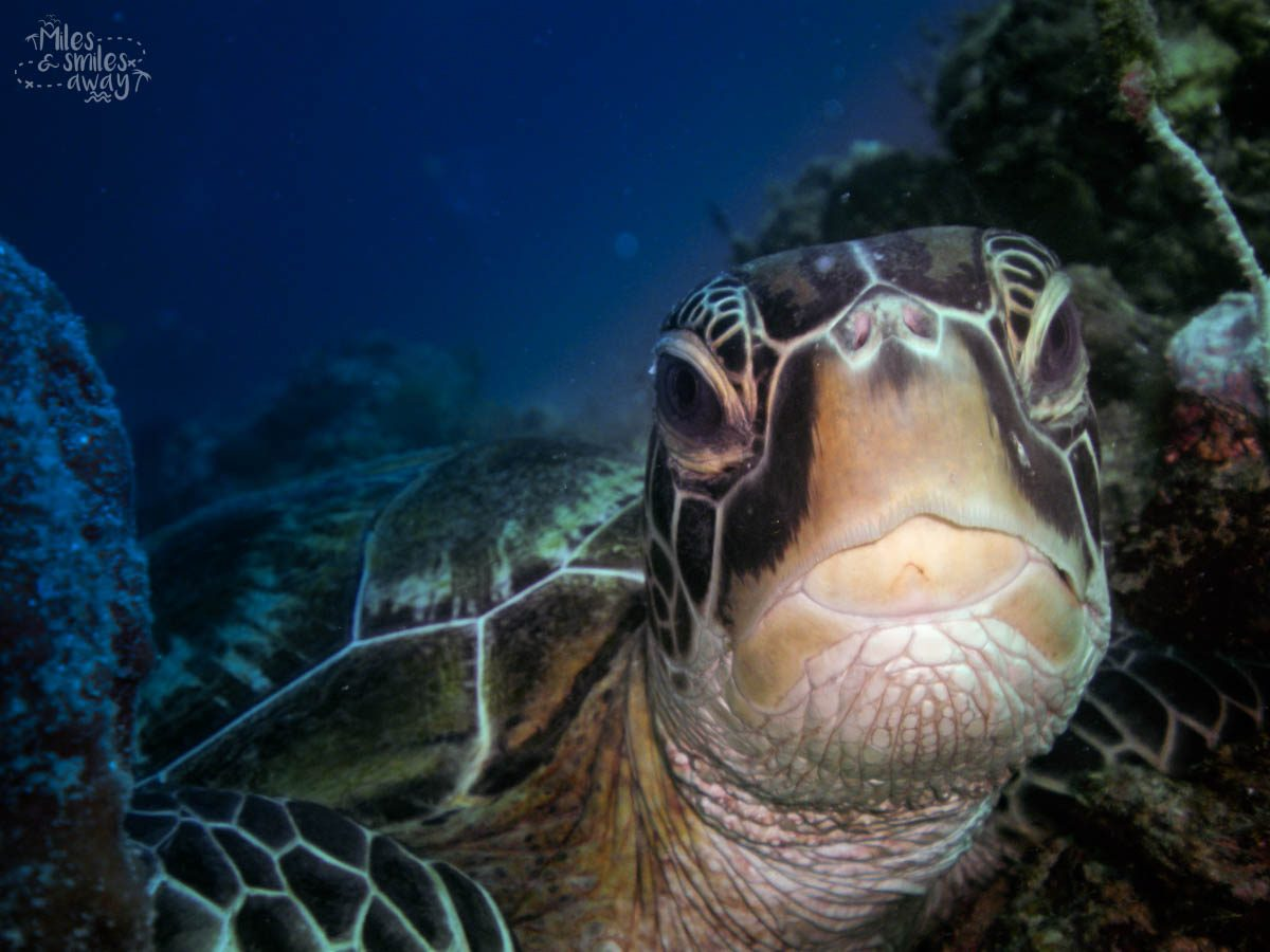 Sipadan green turtle
