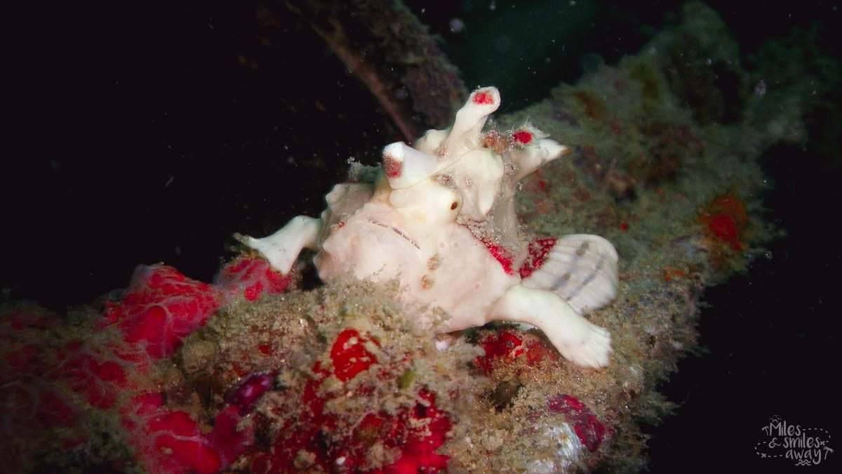 Sipadan Clown Frogfish