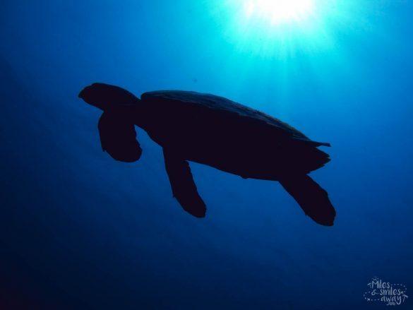 Sipadan Hawksbill turtle