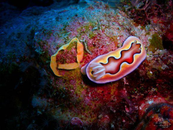 Sipadan Chromodoris nudibranchs