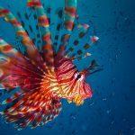 Sipadan Lionfish