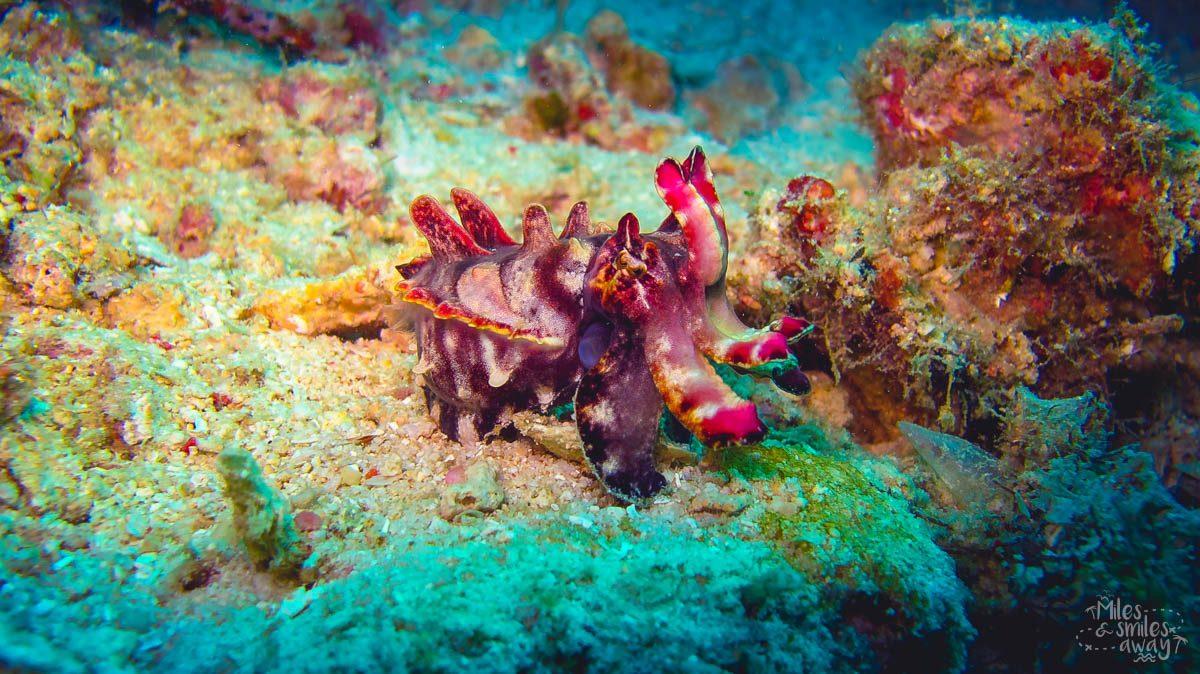 Sipadan Flamboyant cuttlefish