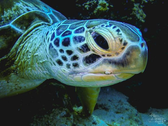 Sipadan diving Green turtle