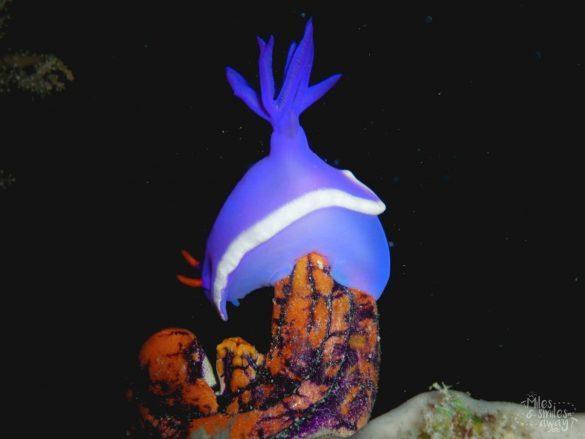 Sipadan Hypselodoris Nudibranch