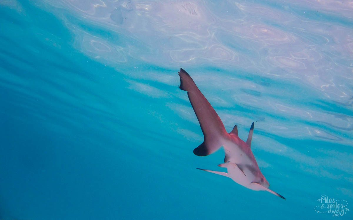 Sipadan Blacktip reef shark