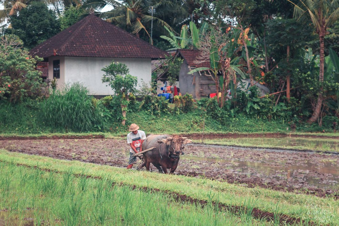 buffalo on rice paddies